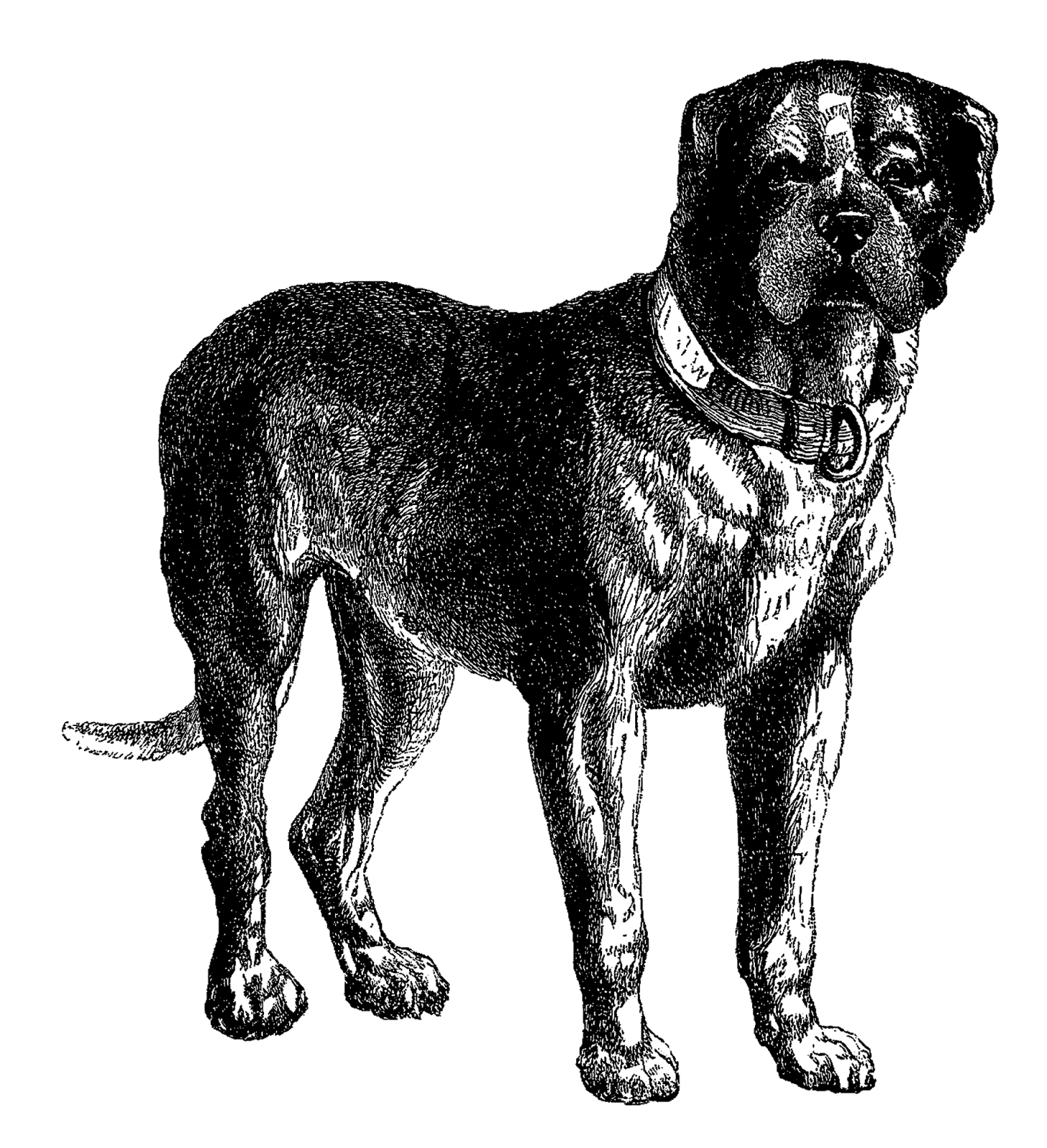 Realistic dog clipart banner transparent library Tibetan dog clipart - Clipground banner transparent library