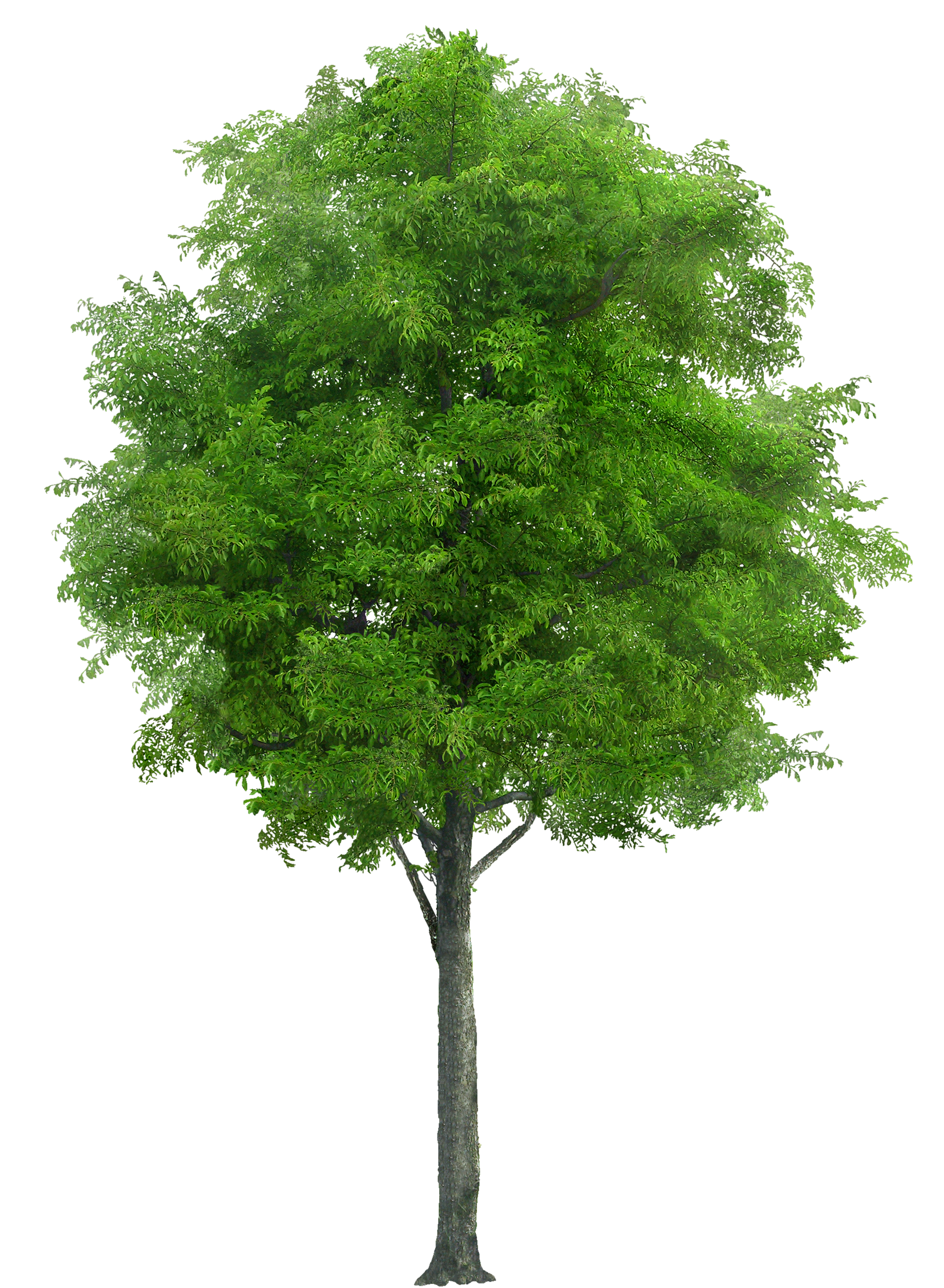 Realistic tree clipart jpg black and white download Realistic Tree PNG Image - PurePNG | Free transparent CC0 PNG Image ... jpg black and white download