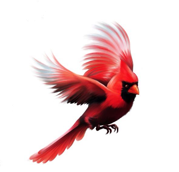 Red cardinal in flight dogwood branch west virginia clipart clip freeuse download Charlie in flight | Charlie Cardinal | Red bird tattoos ... clip freeuse download