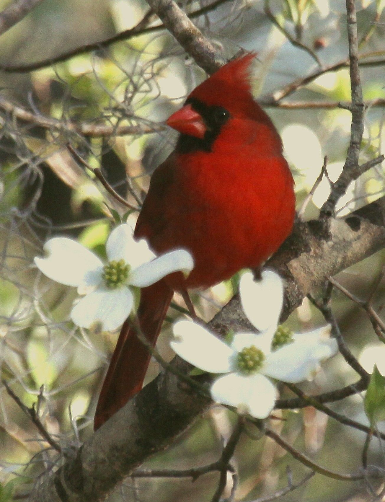 Red cardinal in flight dogwood branch west virginia clipart clipart download About the Image: Male Cardinal sitting in the Dogwood ... clipart download