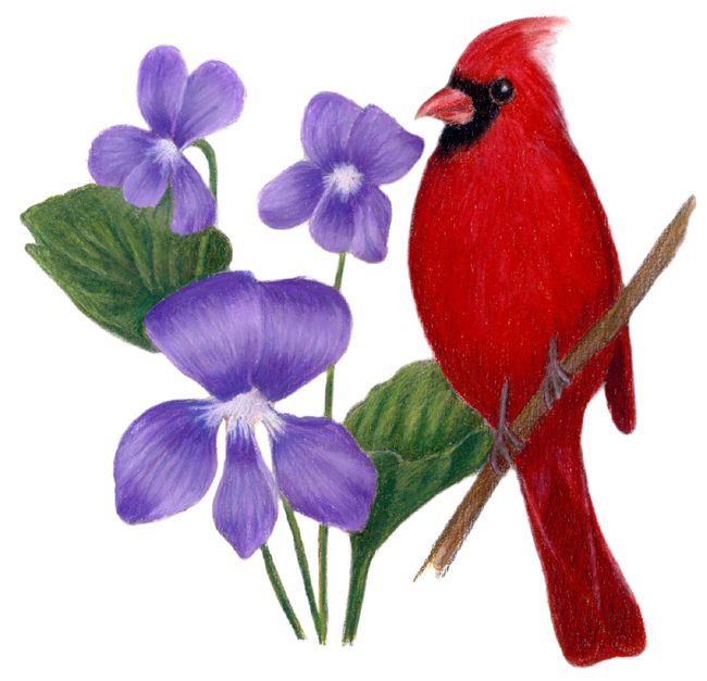 Red cardinal in flight dogwood branch west virginia clipart clipart freeuse stock Illinois State Bird and Flower: Cardinal / Cardinalis ... clipart freeuse stock