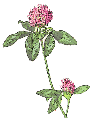Red clover clipart image transparent library Red+clover+flower+clipart | cartão clover | Clover flower ... image transparent library
