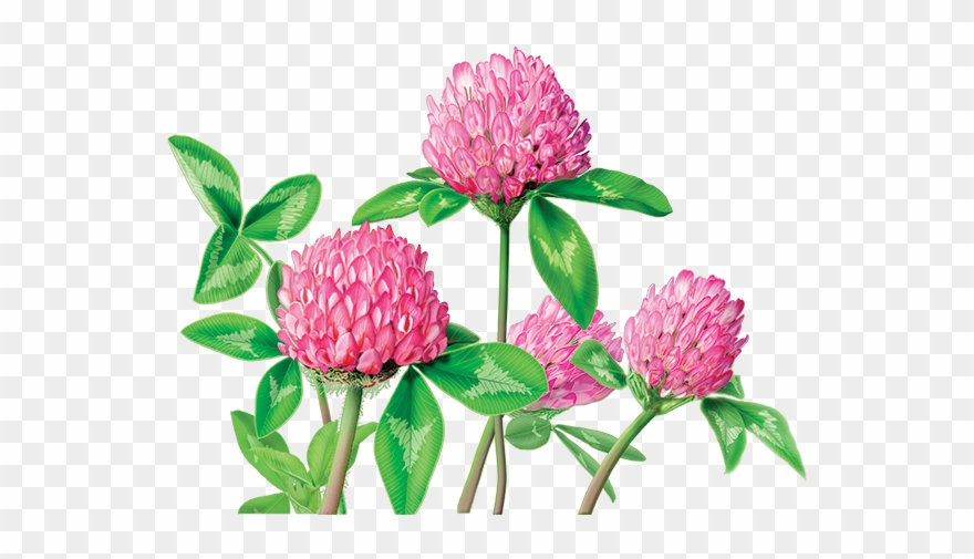Red clover clipart image free library Clover Flower Png - Alvita Red Clover Tea Clipart (#1366595 ... image free library