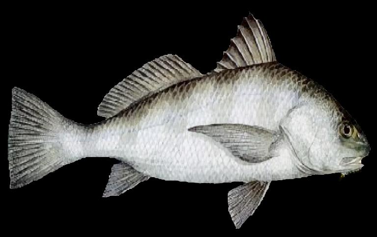 Red drum fish clipart picture royalty free Black drum Pogonias cromis - /animals/aquatic/fish/D/drum/Black_drum ... picture royalty free