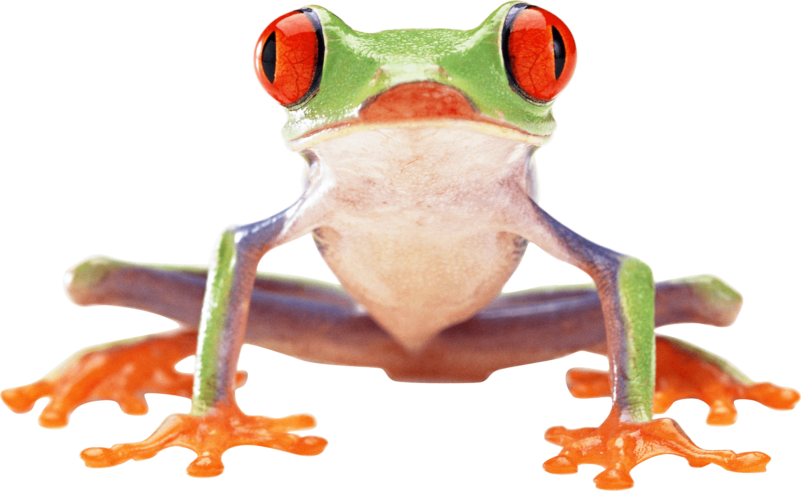 Red eyed tree frog clipart jpg freeuse library Clown Frog transparent PNG - StickPNG jpg freeuse library