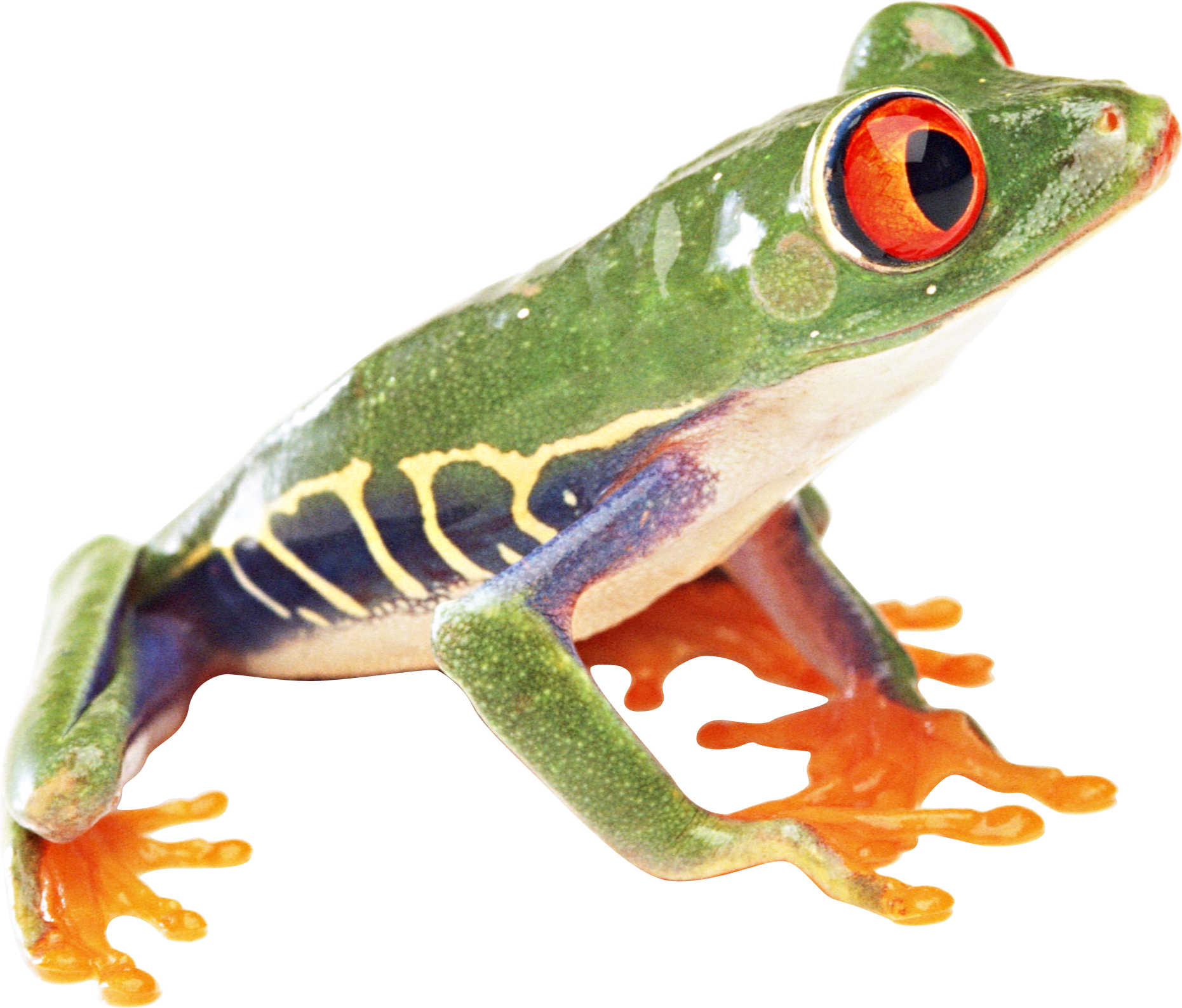 Red eyed tree frog clipart graphic black and white frog PNG image | Red eyed tree frogs and white's tree frogs ... graphic black and white