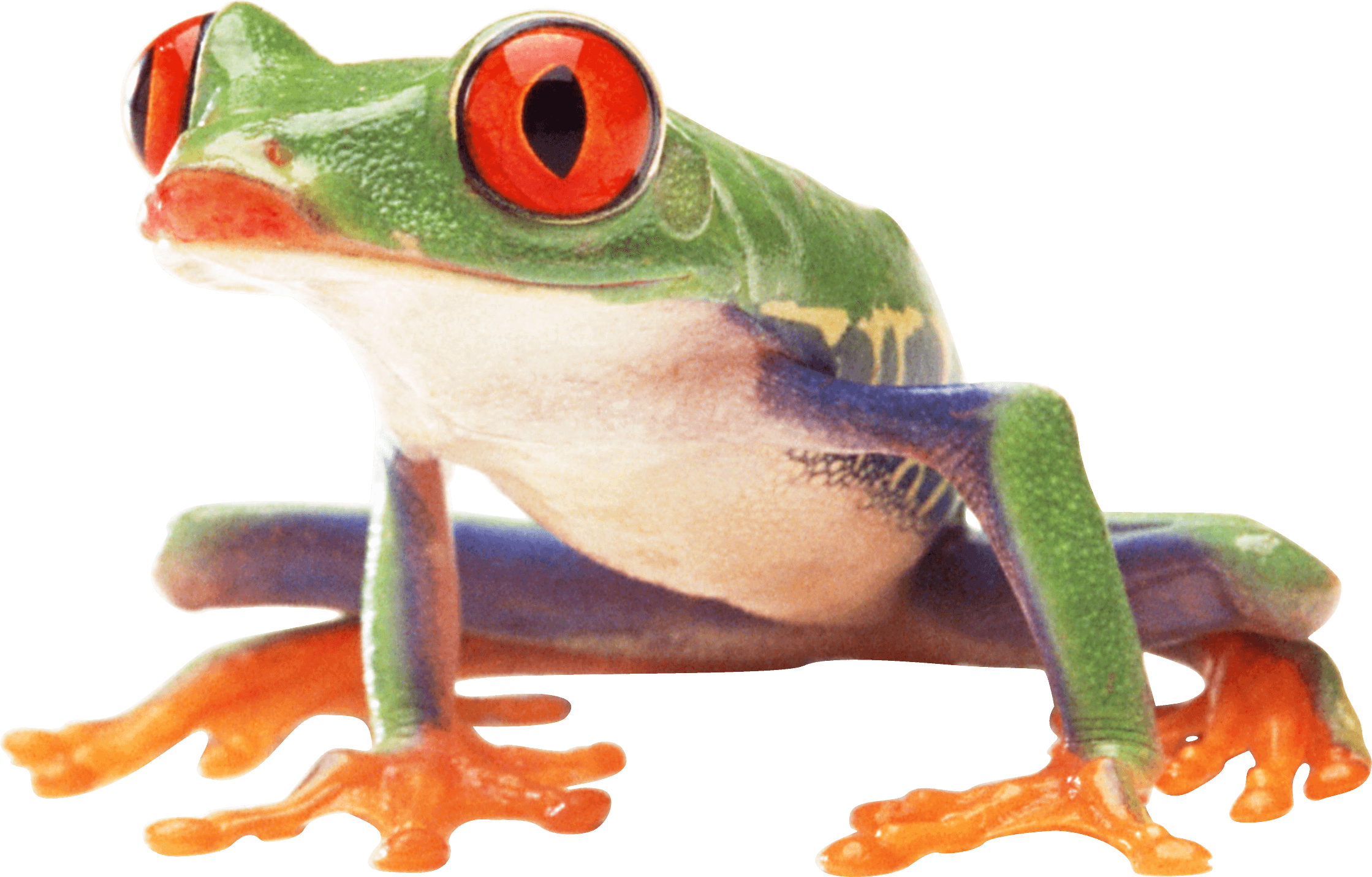 Red eyed tree frog clipart jpg Clown Frog Sideview transparent PNG - StickPNG jpg