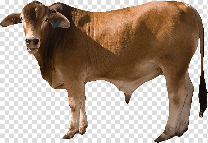 Cattle Ox Calf Live, Cattle feed transparent background PNG ... transparent