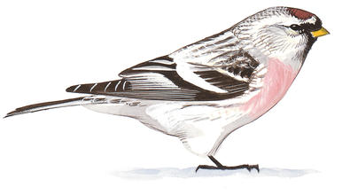 Common Redpoll | Audubon Field Guide vector library download