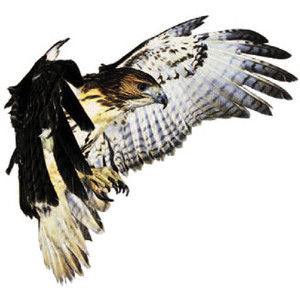 Red shouldered hawk clipart image library stock Red tailed hawk clipart – Gclipart.com image library stock