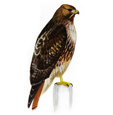 Red shouldered hawk clipart graphic transparent Red-shouldered Hawk | Audubon Field Guide graphic transparent