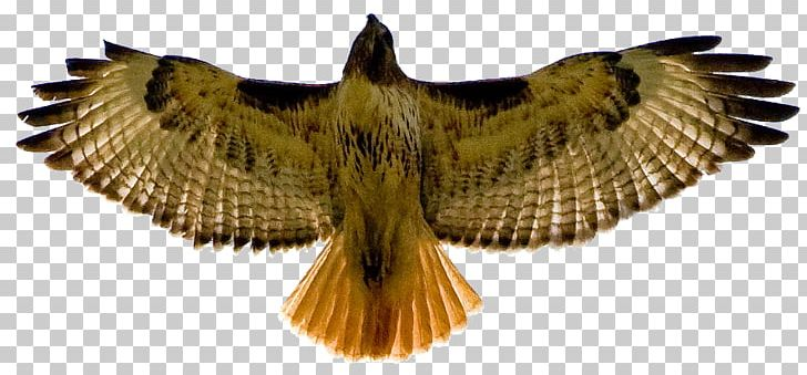 Red shouldered hawk clipart clip art freeuse stock Bird Red-tailed Hawk Red-shouldered Hawk PNG, Clipart ... clip art freeuse stock
