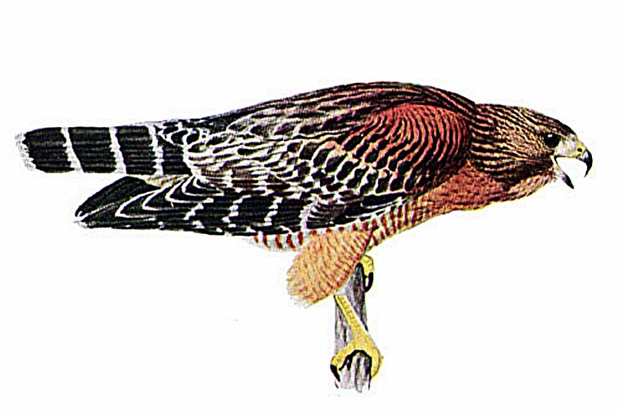 Red shouldered hawk clipart image free library Red-shouldered Hawk Digital Art by Louis Agassiz Fuertes image free library