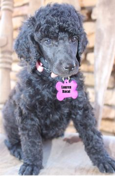Red standard poodle puppy service dog in gear clipart royalty free library 17 Best Bindy\'s Service Dog Life images in 2018   Dog life ... royalty free library