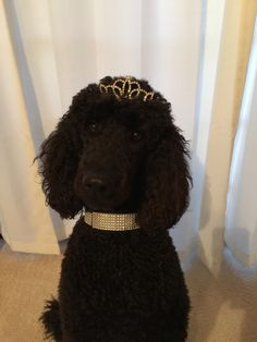 Red standard poodle puppy service dog in gear clipart picture black and white download 17 Best Bindy\'s Service Dog Life images in 2018   Dog life ... picture black and white download