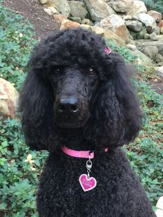 Red standard poodle puppy service dog in gear clipart image freeuse 17 Best Bindy\'s Service Dog Life images in 2018   Dog life ... image freeuse