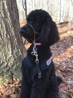 Red standard poodle puppy service dog in gear clipart image freeuse library 17 Best Bindy\'s Service Dog Life images in 2018   Dog life ... image freeuse library