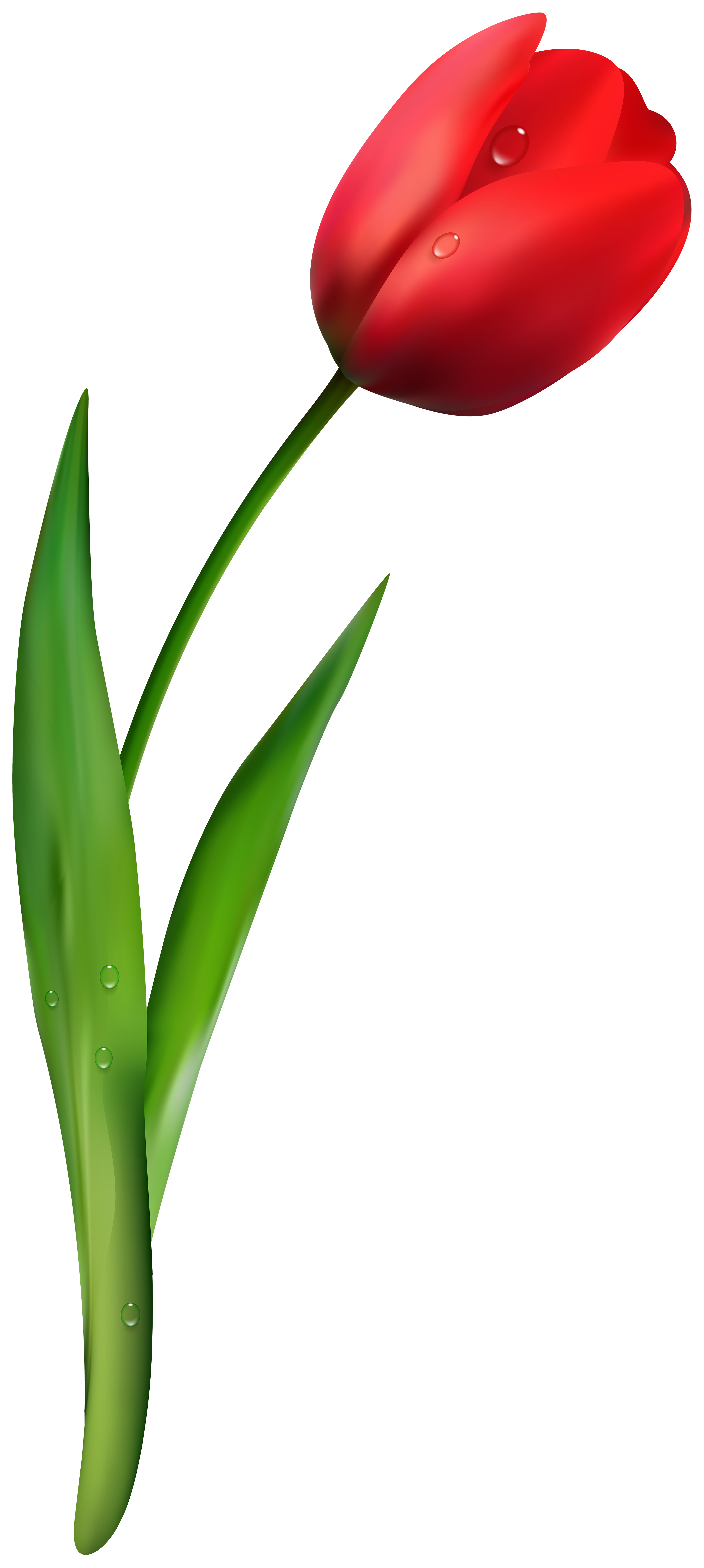 Red tulip clipart image download Red Tulip Flower Transparent Image   Gallery Yopriceville ... image download