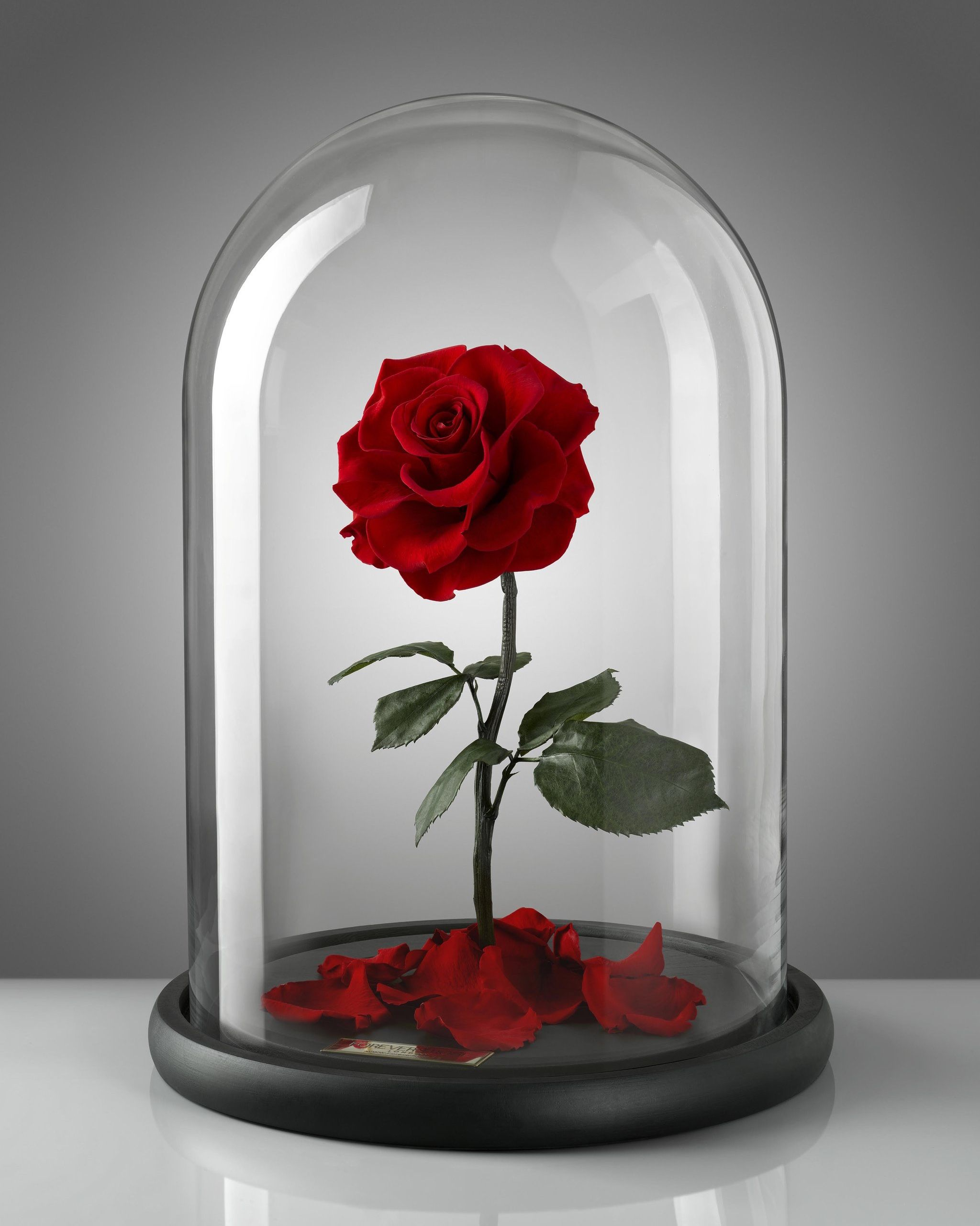 Redbubble enchanted rose cliparts image transparent download Rose Cloche | Her Love for ROSES! in 2019 | Forever rose ... image transparent download