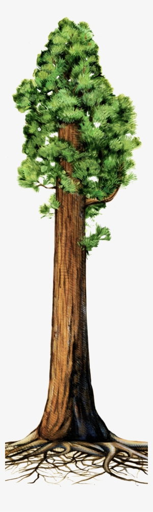 Redwood trees clipart clip art royalty free stock Redwood Tree PNG, Transparent Redwood Tree PNG Image Free ... clip art royalty free stock