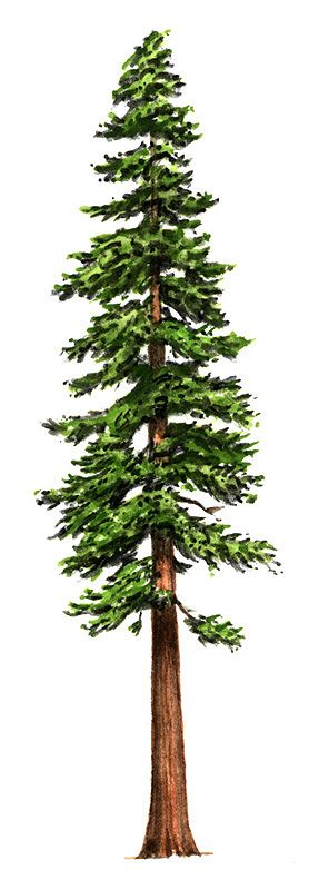 Redwood trees clipart stock Free Free Redwood Cliparts, Download Free Clip Art, Free ... stock