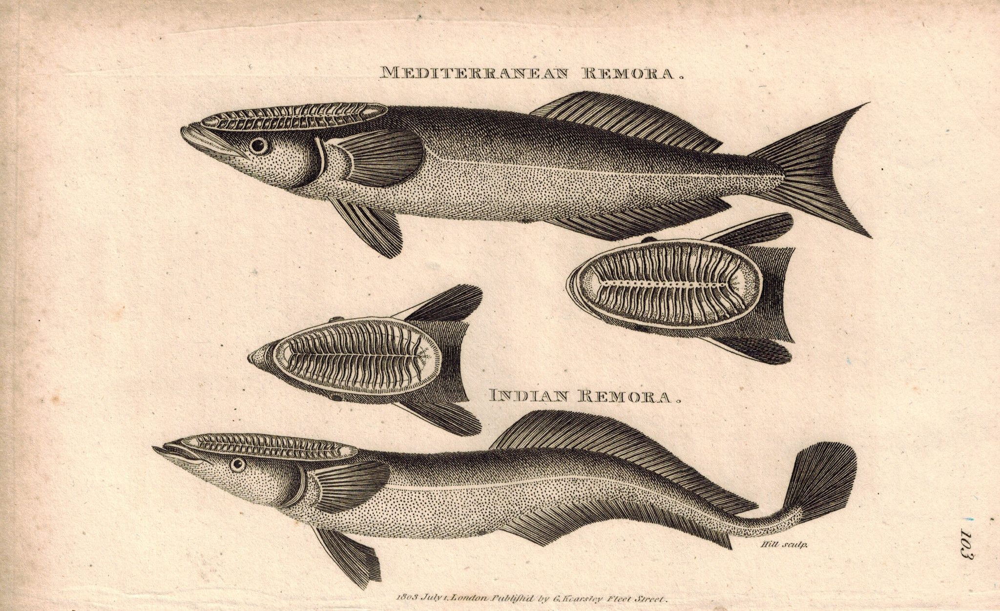 Remora fish on sea turtle clipart clipart free Mediterranean & Indian Remora Fish 1809 Engraving Print by ... clipart free