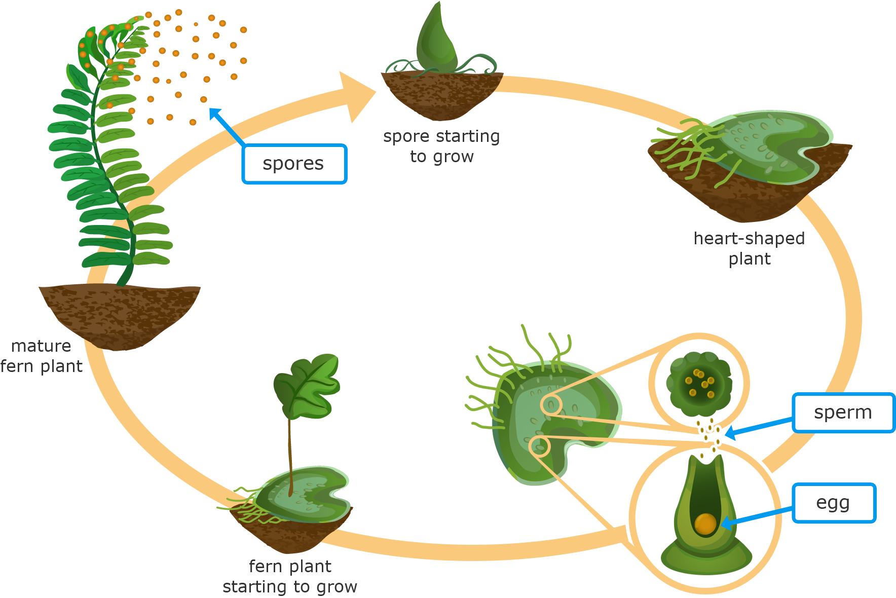 Reproduce clipart jpg freeuse download Ixl And Fern - Non Flowering Plants How Do They Reproduce ... jpg freeuse download