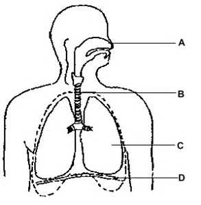 Respiratory system images clipart transparent Free Respiratory Cliparts, Download Free Clip Art, Free Clip ... transparent