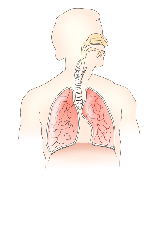 Respiratory system images clipart graphic black and white Art,Human,Arm Clipart - Royalty Free SVG / Transparent Clip art graphic black and white