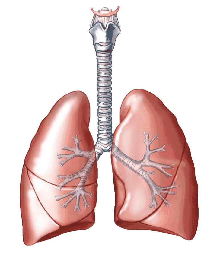 Respiratory system lung sacs clipart no background graphic royalty free library Lungs PNG Transparent Images   PNG All graphic royalty free library
