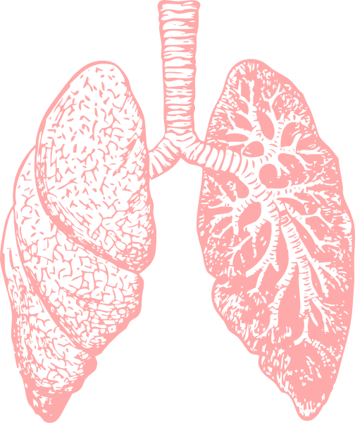 Respiratory system lung sacs clipart no background clipart black and white download Lungs PNG clipart black and white download