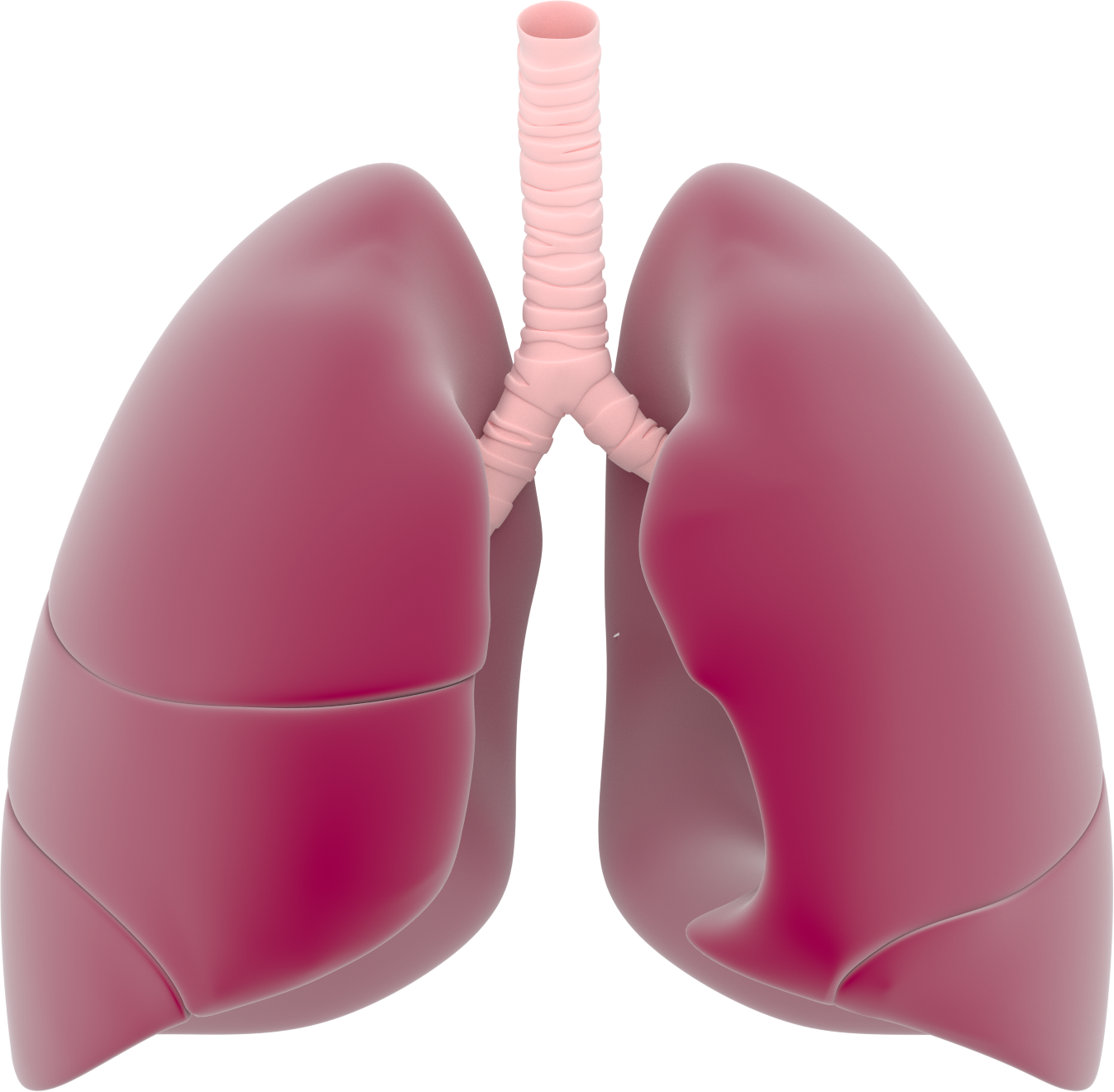 Respiratory system lung sacs clipart no background clip royalty free stock Lungs PNG Transparent Images   PNG All clip royalty free stock