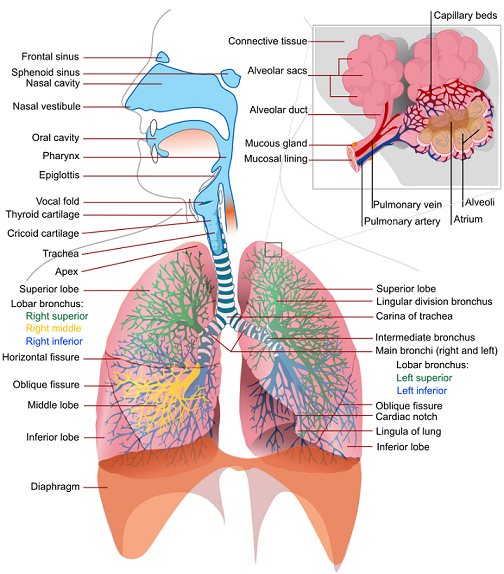 Respiratory system lung sacs clipart no background graphic royalty free download Download Free png Respiratory System PNG HD Plu - DLPNG.com graphic royalty free download