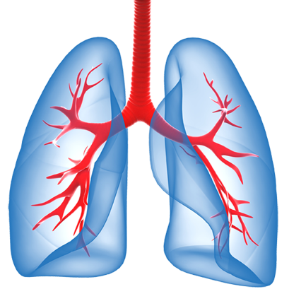 Respiratory system lung sacs clipart no background png free stock Lungs PNG png free stock