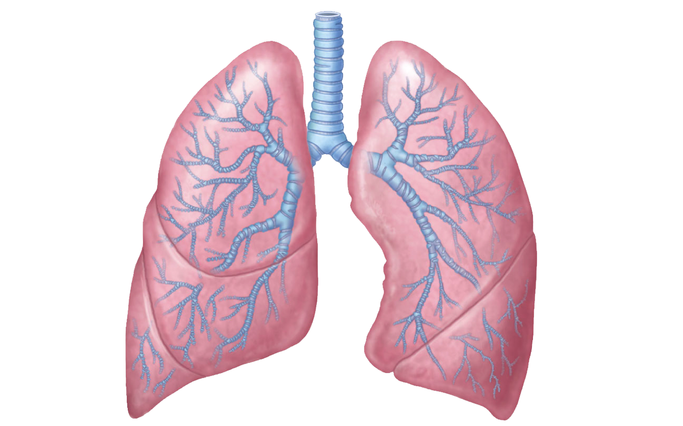 Respiratory system lung sacs clipart no background clip art Lungs PNG clip art
