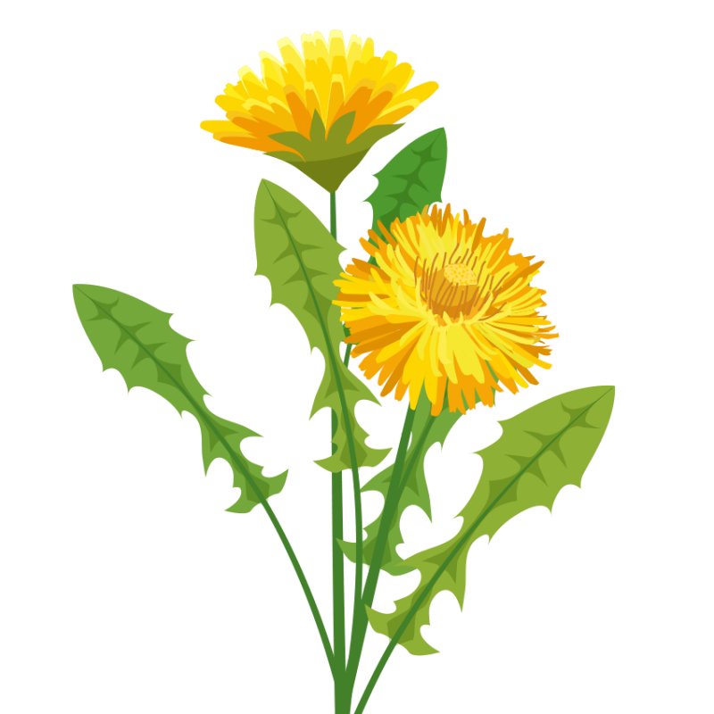 Rooibos flower clipart svg royalty free stock Dandelion Herbalist svg royalty free stock