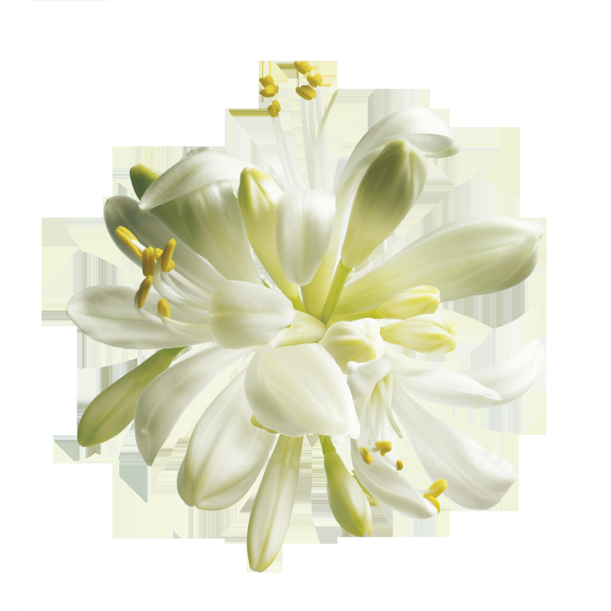 Rooibos flower clipart svg transparent download Moringa #TheBodyShop | Tree of Life | Pinterest | Flowers, Gardens ... svg transparent download