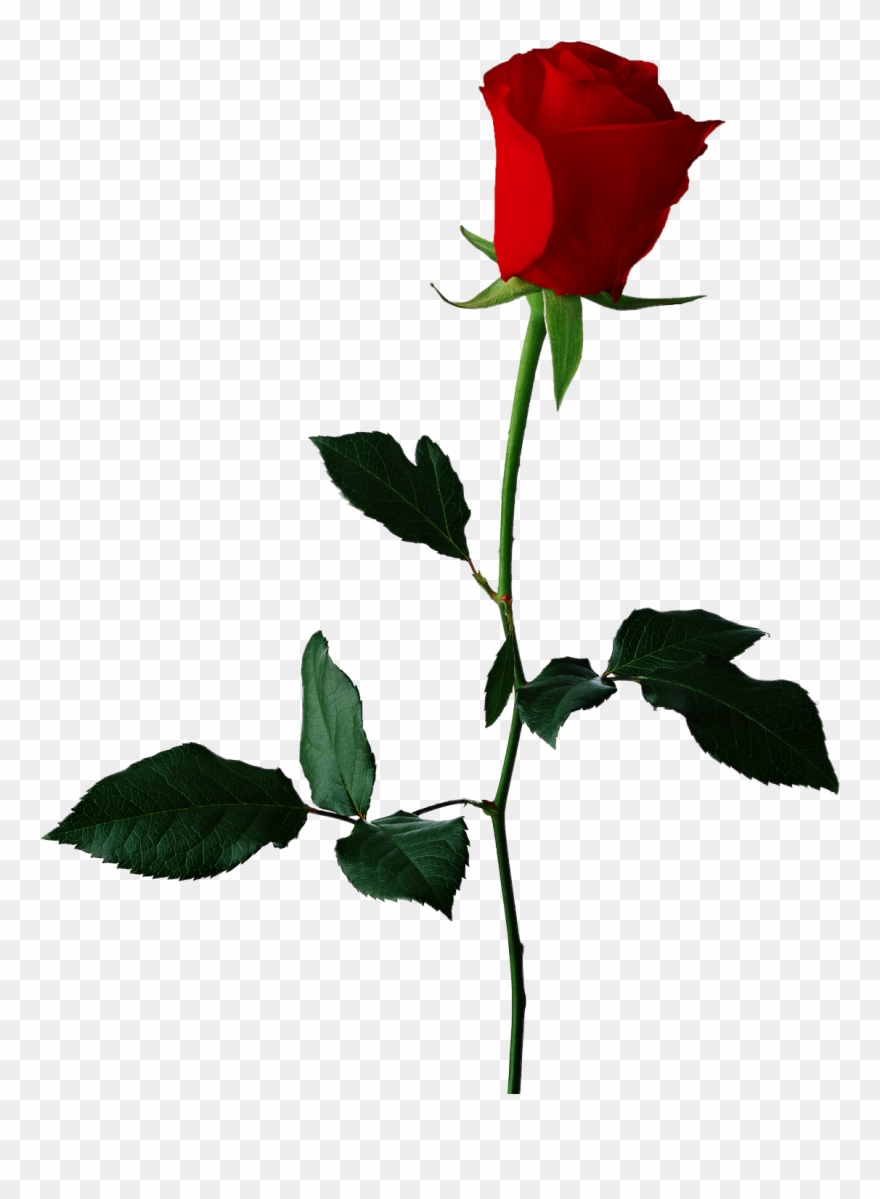 Rose clipart no background picture royalty free download Red Rose Clipart Original - Rose Flower Transparent ... picture royalty free download