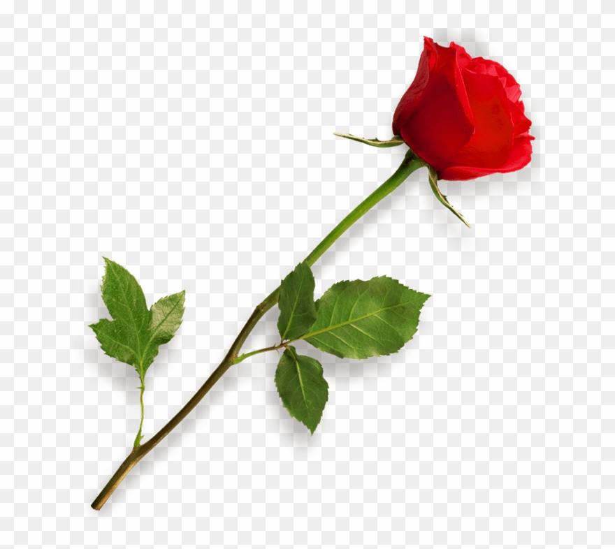 Rose with stem clipart jpg transparent download Red Rose Clipart Long Stem - Rose Png Transparent Png ... jpg transparent download
