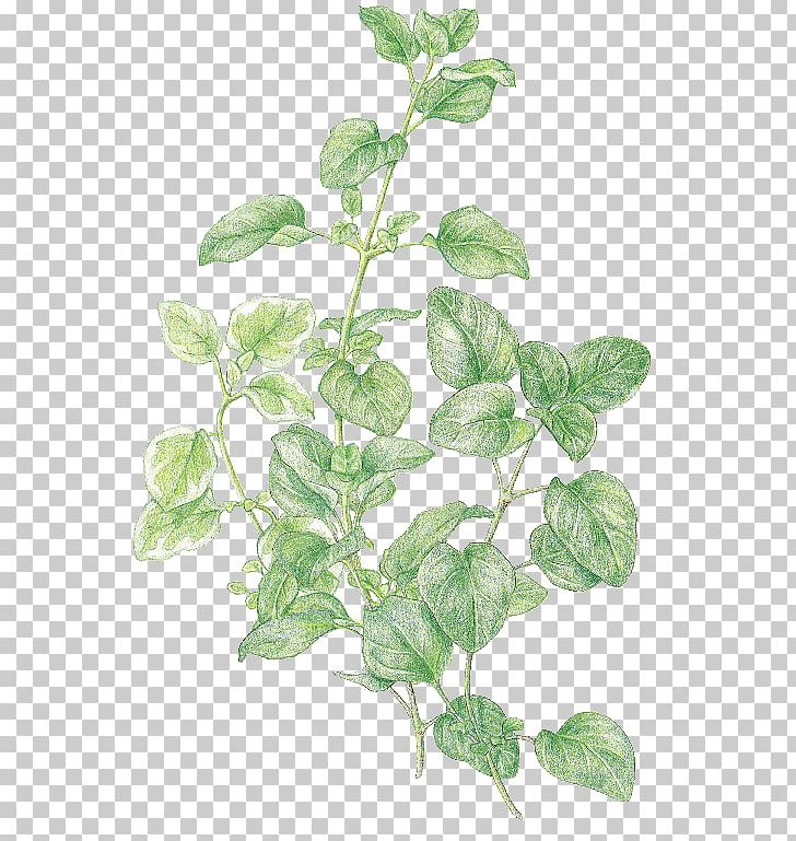 Rosemary thyme and oregano clipart clipart black and white Marjoram Oregano Favourite Herbs Thyme PNG, Clipart, Basil ... clipart black and white