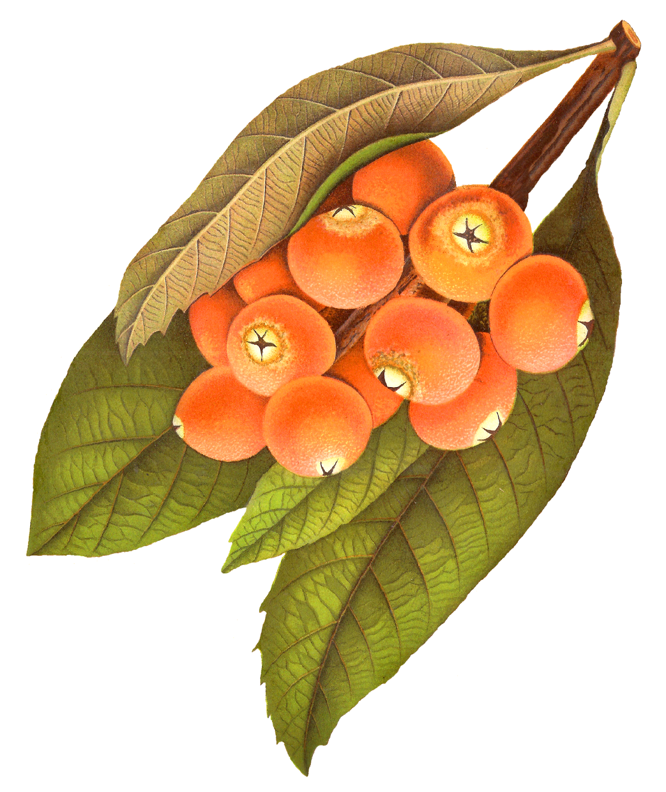 Rowan tree clipart transparent download Antique Images: Free Printable Fruit Image Rowan Berry Artwork ... transparent download