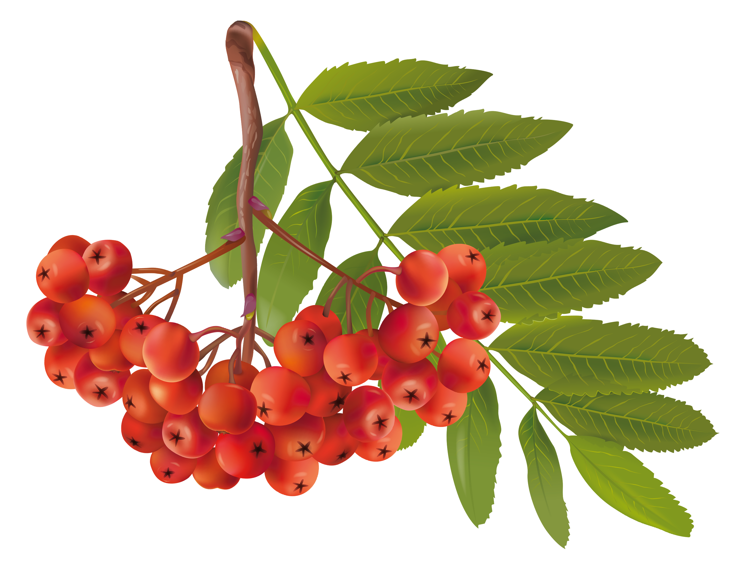 Rowan tree clipart png freeuse stock Autumn Plant PNG Clipart Image | Gallery Yopriceville - High ... png freeuse stock