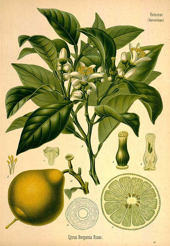 Royalty free plant images jpg free library Bergamot - botanical plant illustration - Royalty free from ... jpg free library