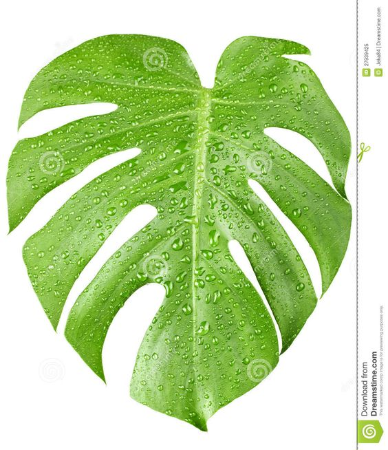 Royalty free plant images clipart library download Big Green Leaf Of Monstera Plant With Water Drops Royalty Free ... clipart library download