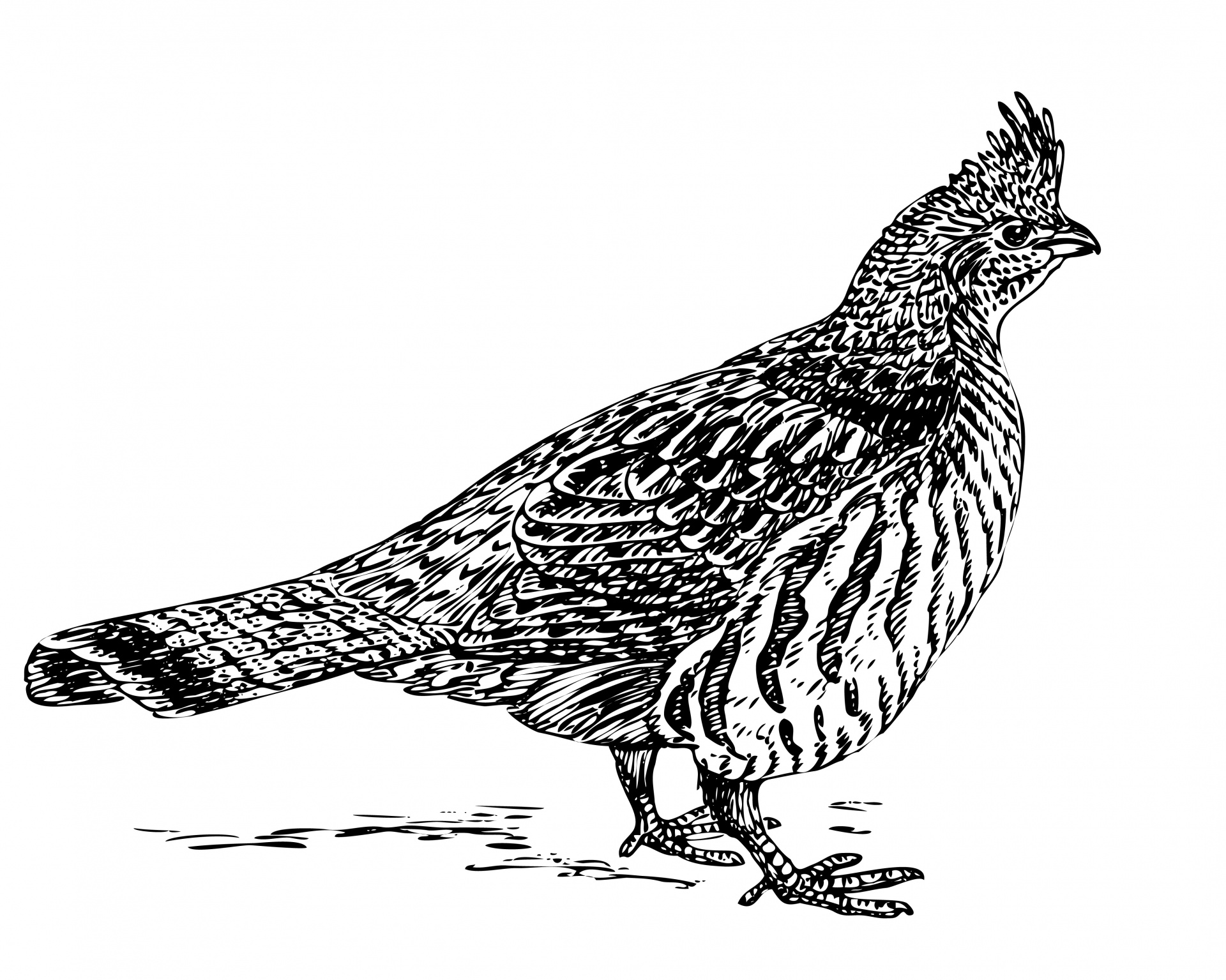 Ruffed grouse clipart free stock Free Grouse Cliparts, Download Free Clip Art, Free Clip Art ... free stock