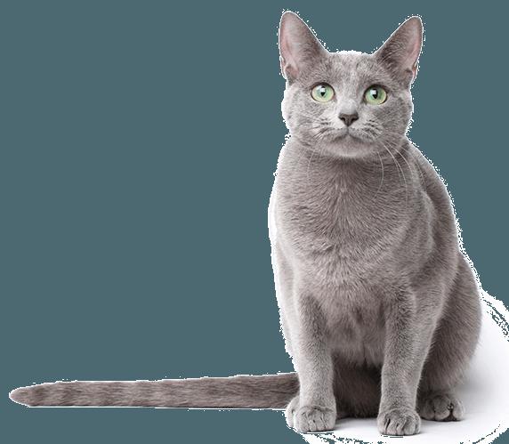 Russian blue cat clipart clip art transparent library Russian Blue Turkish Van Tonkinese cat Burmese cat Kitten ... clip art transparent library