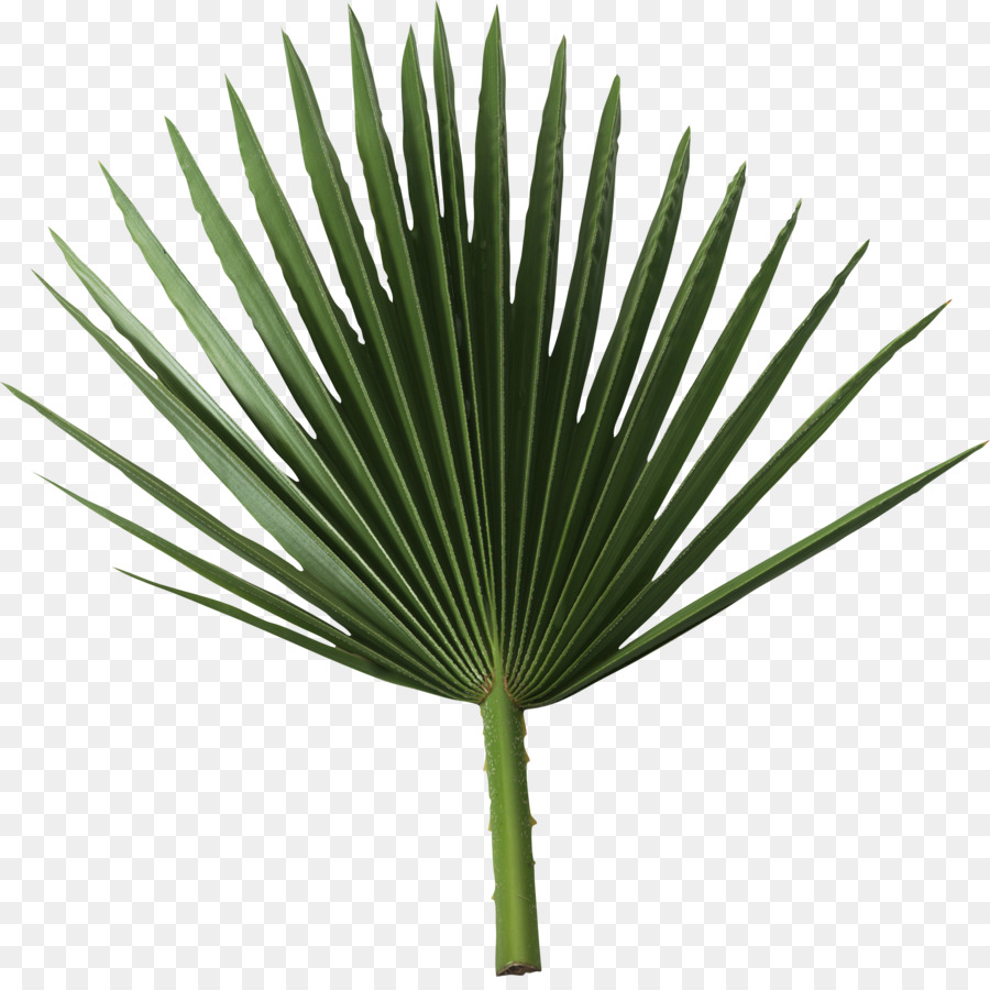 Sabal palm clipart png transparent library Palm Tree Background clipart - Leaf, Plant, Tree ... png transparent library