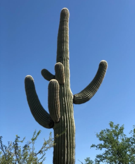 Saguaro in dirt clipart png royalty free download Strong, solid, soulful Saguaro cactus... majestic mum ... png royalty free download