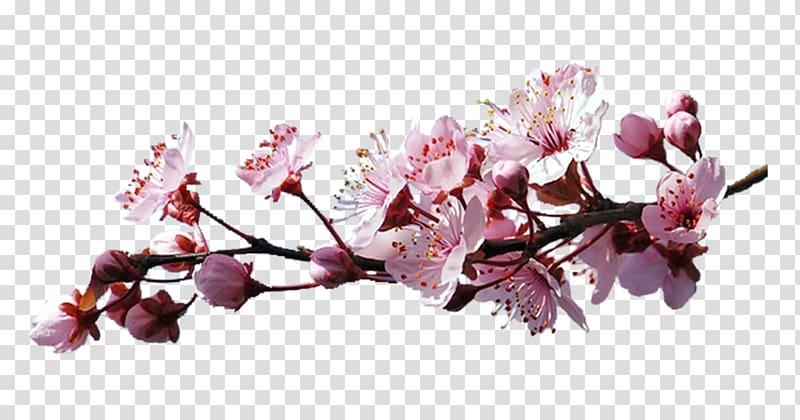 Sakura branch clipart clip Cerasus Cherry blossom , Sakura branch transparent ... clip