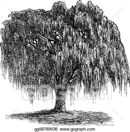 Salix clipart royalty free stock EPS Illustration - Babylon willow or salix babylonica ... royalty free stock